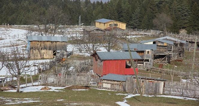 Aç kalan ayılar yayla evlerine saldırdı