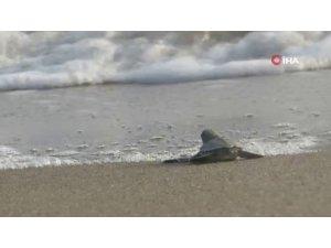 Bu yıl 537 bin 424 yavru deniz kaplumbağası denizle buluştu