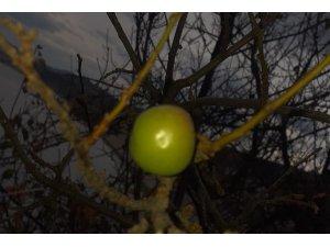 Erik ağacı aralık ayında meyve verdi