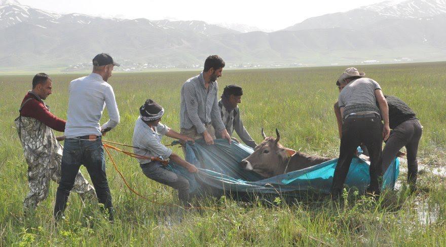 Başkan Sayan ineği bataklığa saplanan vatandaşa inek gönderme talebinde bulundu