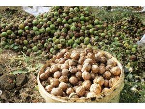 Bitlis çiftçisi bu yıl cevizden 150 milyon TL kazanacak