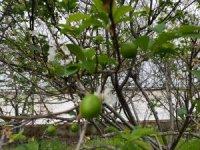 100 gram erik ağacında 100 TL'den satışa sunuldu