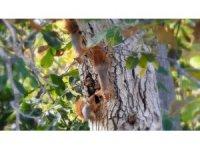 Ceviz ağacındaki sincap ailesinin mutlu halleri görüntülendi