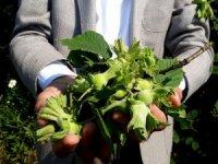 Fındık hasadı öncesi korkutan açıklama