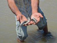 Murat Nehri'nde kirlilikten dolayı binlerce balık öldü
