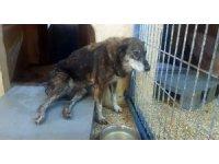 Maganda kurşunlarının hedefi olan köpek felç kaldı