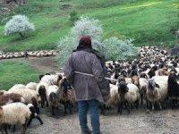 Bir aydır yürüyen göçerler yaylalara ulaştı