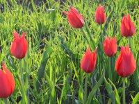 Laleler kırmızı rengiyle doğayı süslüyor