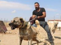 Ağrı'da terörle mücadelede safkan kangallar kullanılacak