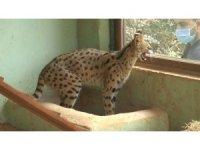 Nesli tükenme tehlikesindeki vahşi kediye eş aranıyor
