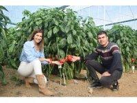 İki kardeş Antalya'da ürettikleri Kaliforniya biberini dünyaya ihraç ediyor