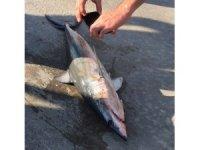 Akyaka sahilde ölü köpekbalığı bulundu