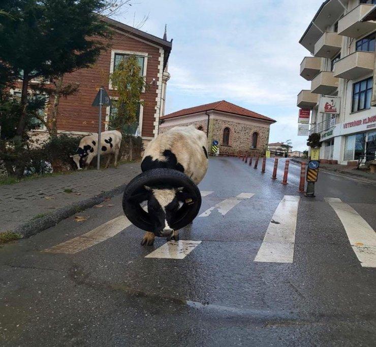 Kafasına araba lastiği takılan inek böyle kurtarıldı