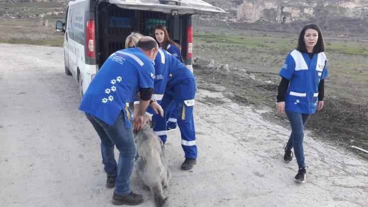 Sular altında kalacak olan Hasankeyf'te sokak hayvanları taşınıyor