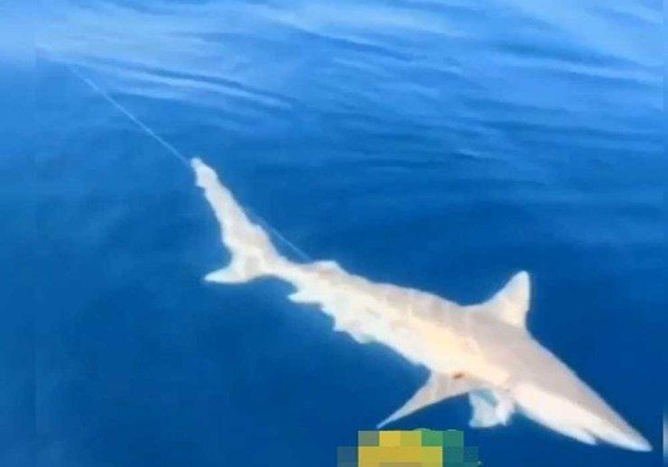 Akdeniz Körfezi'nde köpek balığı ve fok heyecanı