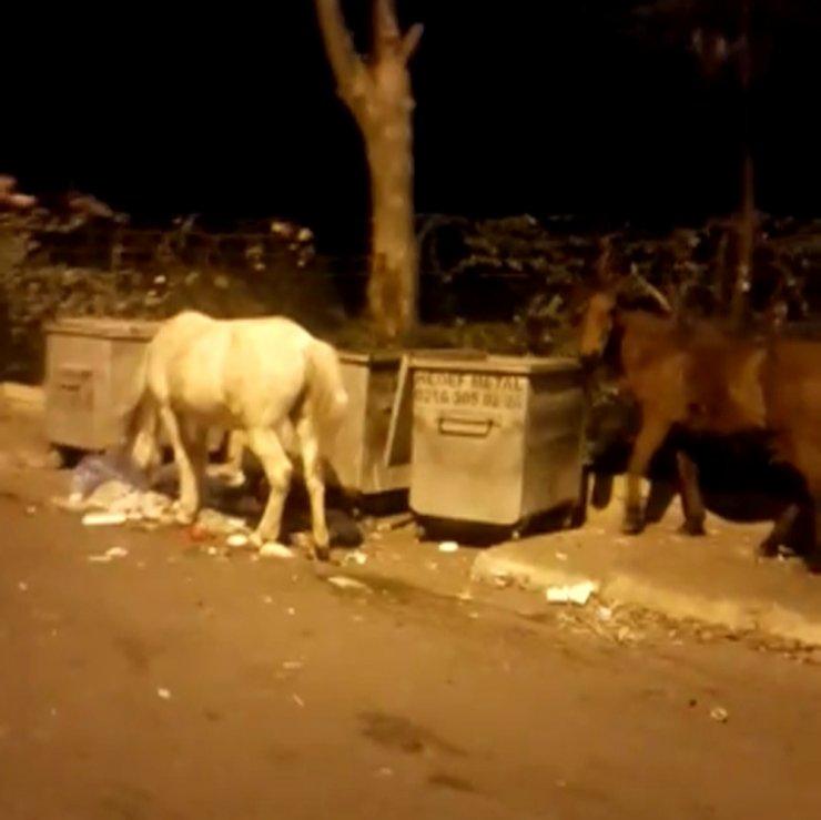 Büyükada'da çöpte yemek arayan atlar yürekleri sızlattı