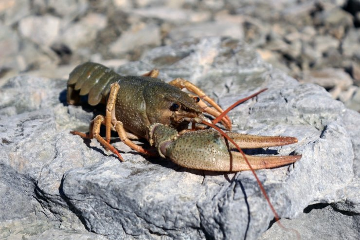 Van Gölü'nde ilk kez görüldü: İnci kefali için büyük tehlike