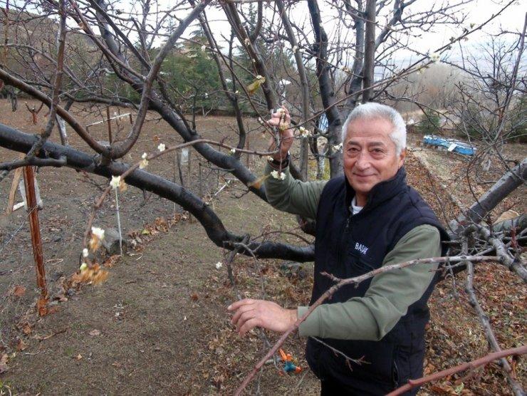 Yozgat'ta erik ağacı çiçek açtı